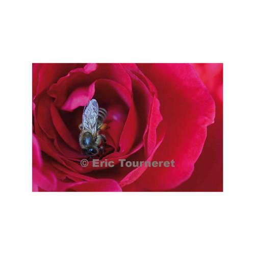 Carte postale La rose et l'Abeille