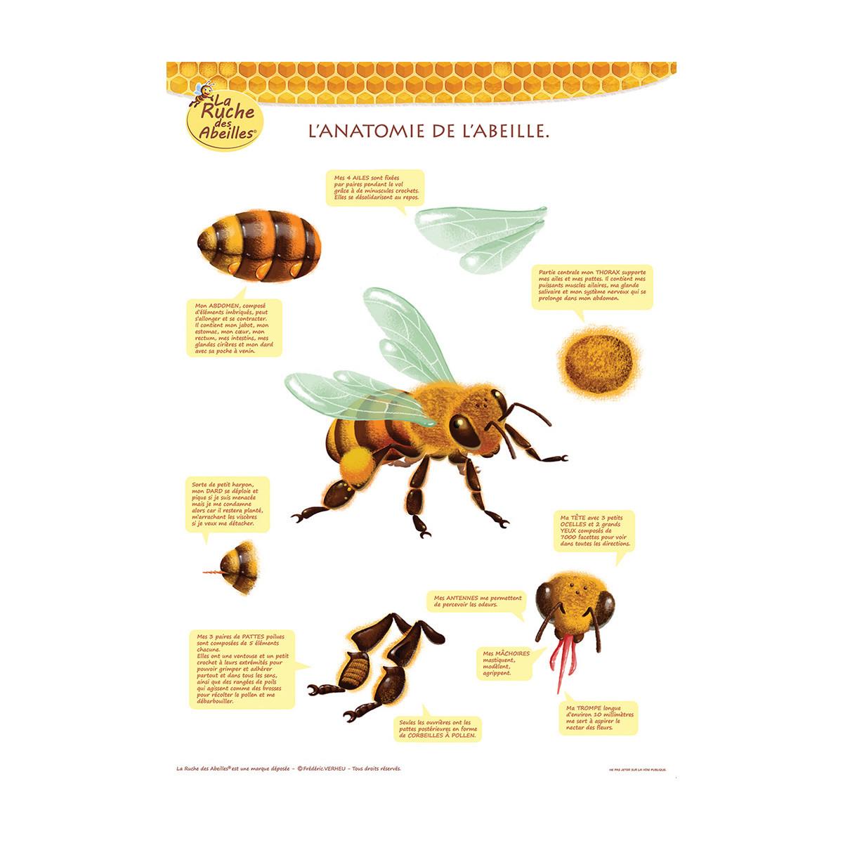 Poster L'anatomie de l'abeille