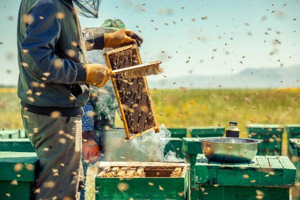 un budget de 3 millions débloqués pour des abeilles