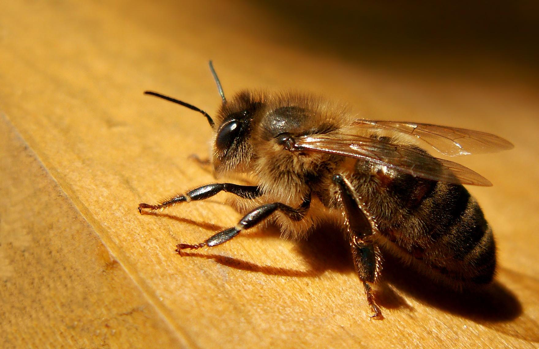 l 39 abeille noire apis mellifera mellifera. Black Bedroom Furniture Sets. Home Design Ideas
