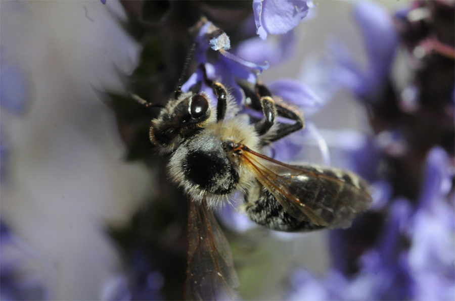 Abeille caucasienne ou abeille grise (Apis mellifera caucasica)