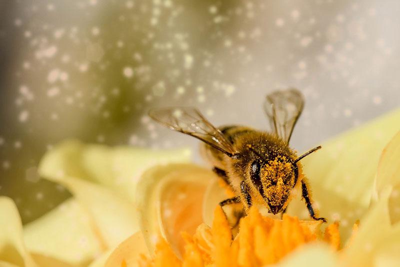 Abeille, fleur & pollen