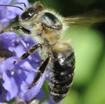 L'abeille caucasienne