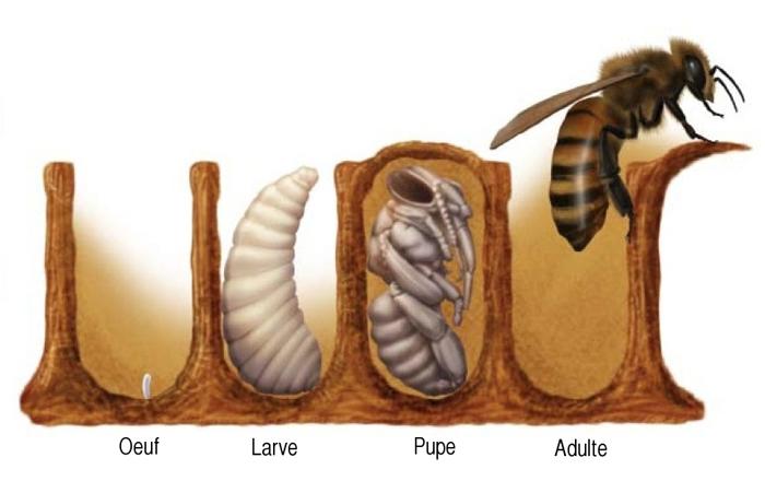 De l'œuf à l'abeille