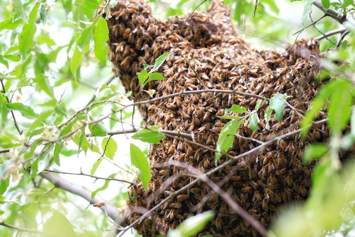 comment r agir si vous trouvez un essaim d 39 abeilles. Black Bedroom Furniture Sets. Home Design Ideas