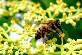 L'abeille italienne