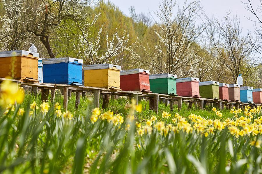 Ruches colorées au printemps
