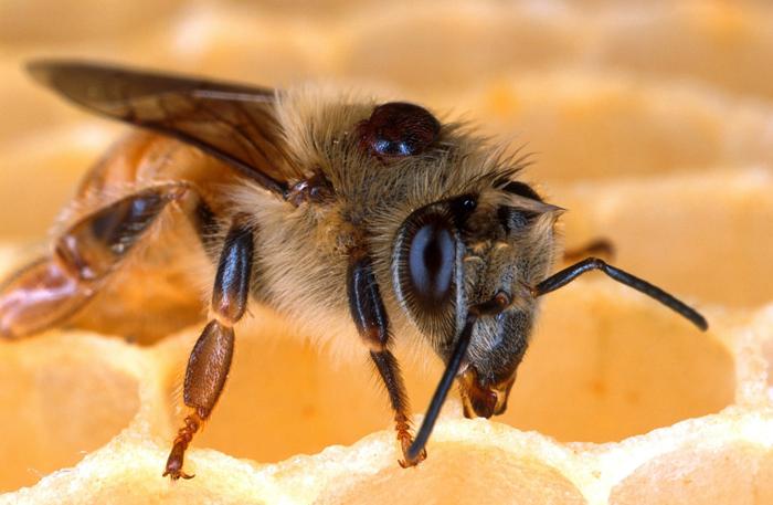 Varroa sur abeille
