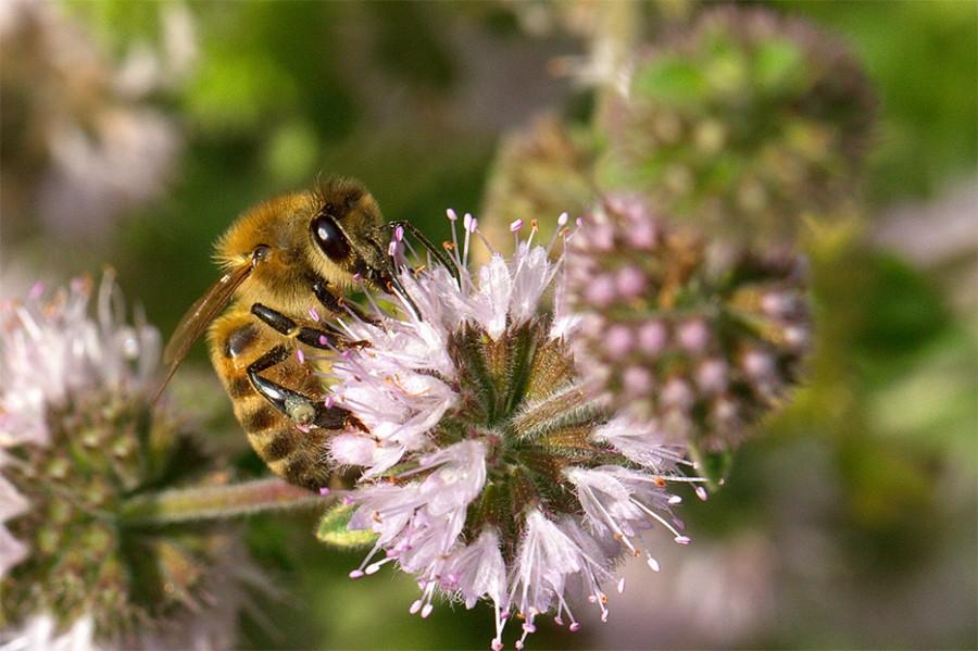 L'abeille Buckfast