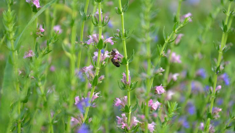 la plante mellifère Hysope pour les abeilles