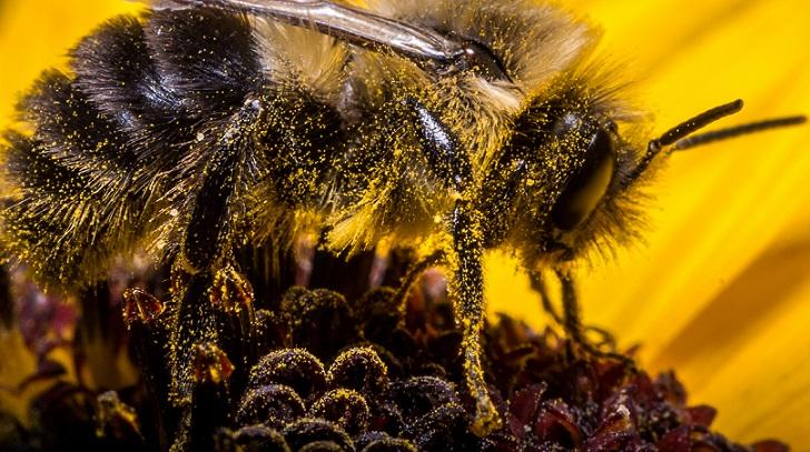 genome de l'abeille