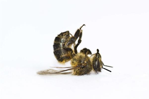 abeilles sauvages seraient en voie de disparition. Black Bedroom Furniture Sets. Home Design Ideas
