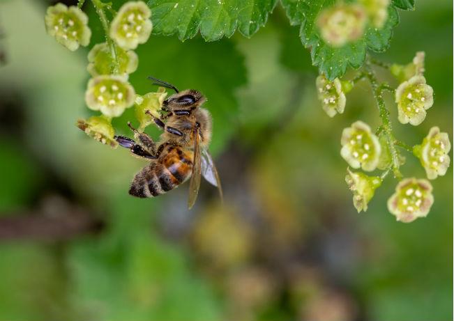 Les abeilles savent compter
