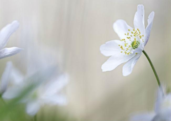 Anémone Sylvie : plante mellifère
