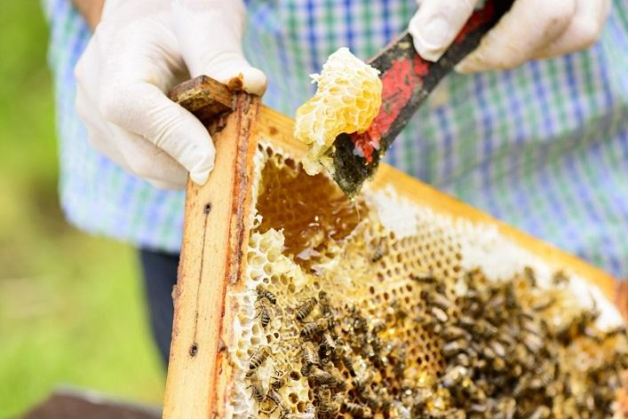 Désoperculation des cadres de ruche