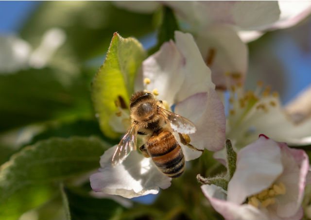 Des fleurs connectées pour étudier les abeilles