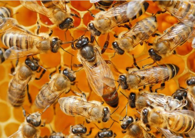 Grille à reine en apiculture