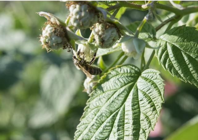 La plante mellifère : le framboisier