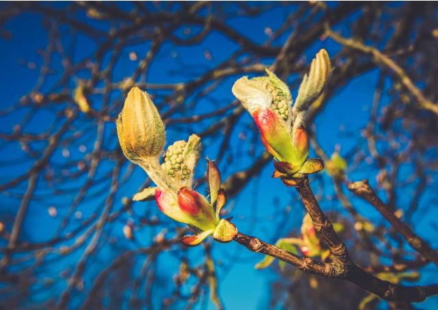 Le plante mellifère : le marronier