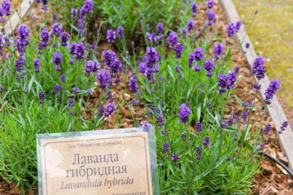 Le lavandin plante mellifère