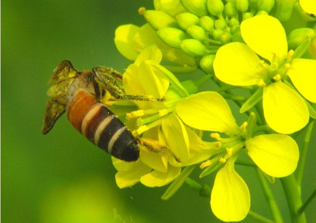 Moutarde blanche plante mellifère