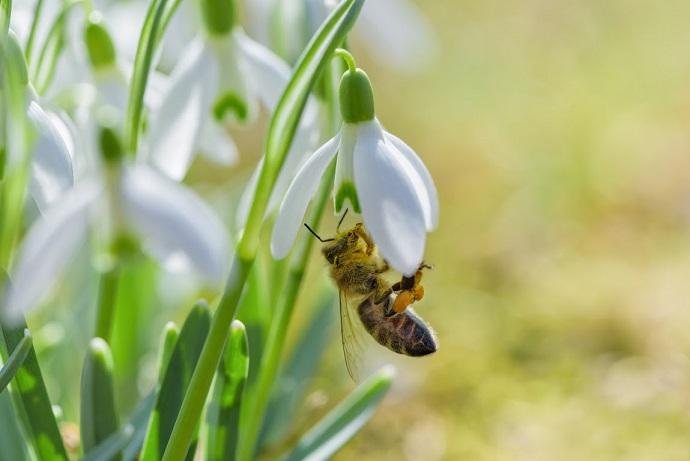 Perce neige plante apiculture