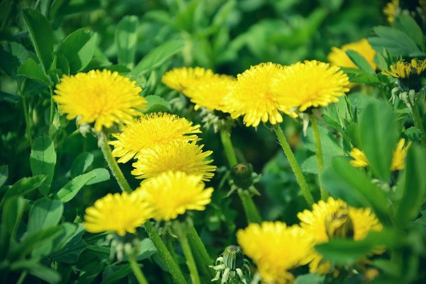 Le Pissenlit Floraison Vertus Et Interet Pour Lapiculture