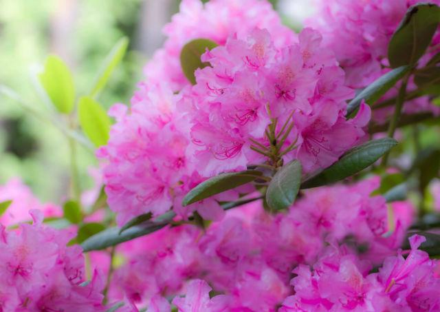 Plante mellifère rhododendron