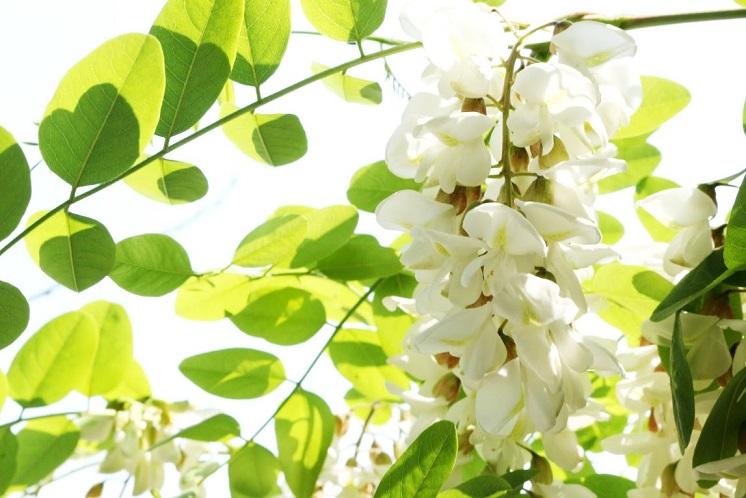robinier faux acacia plante mellifère