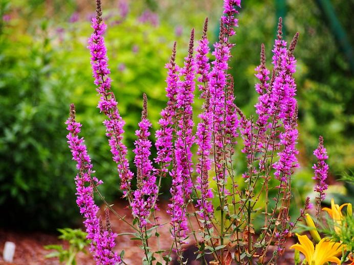 salicaire - plante mellifere