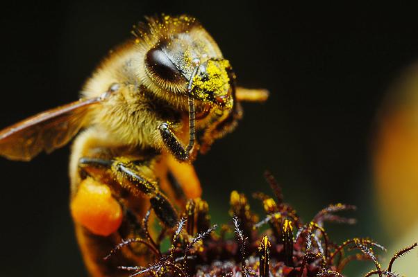 santé des abeilles