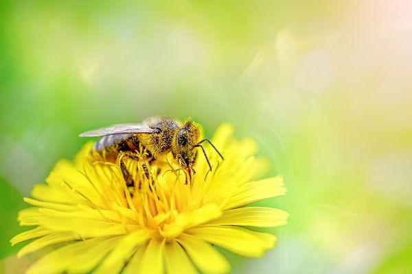 vacciner les abeilles