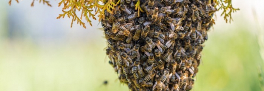 Comment capturer un essaim d'abeilles